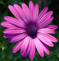 Osteospermum in November...
