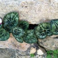 Cyclamen in Cyprus....