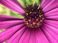Art with Osteospermum shapes...
