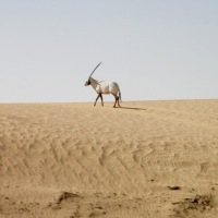 Admiring the Arabian oryx....