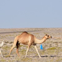 Wordless Wednesday: Camels at Mahout, Oman