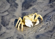 Crab en guarde...