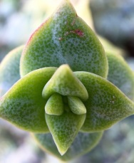 Winter succulent...