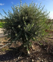 Olive tree, starting it's 2016 growth...