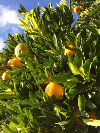 Mandora, A Cyprus winter fruit...