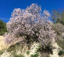 A mist of almond blossom....