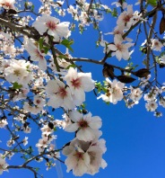 Blie skies, almond blossom, it must be spring...