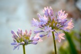 Agapanthus, I have to visit in June when they flower...
