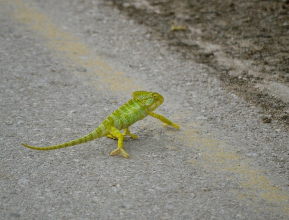 Why did the chameleon cross the road...