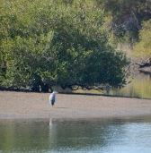 Heron in the mangroves...