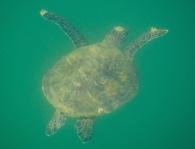 Turtle gliding through the sea...