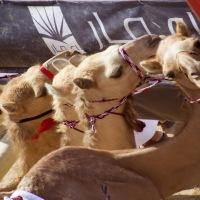 Photo 101, Weekend three: Camel racing....