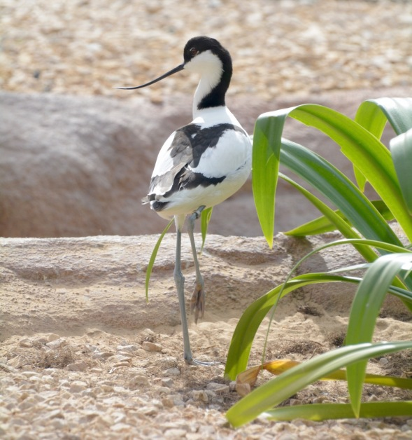 Pied avocet, a marshland bird...