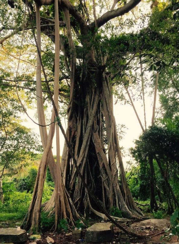 Huge roots....