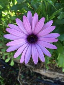 Daisy in my garden...