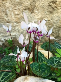 So many Cyclamen....