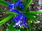 Bluebell in my garden...