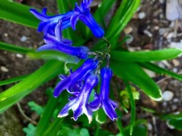 Bluebell in my garden...