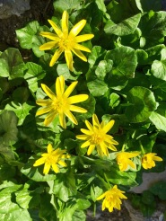 Cheerful celandine...