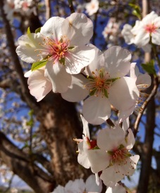 Almond flowers...