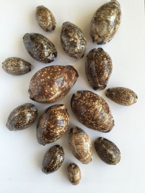 Cypraea arabica varieties