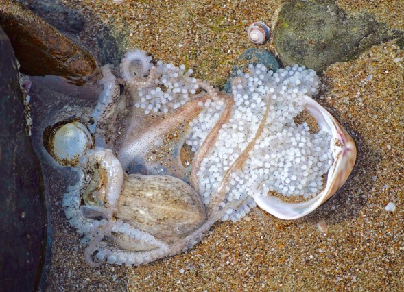 Octopus laying eggs in a rock-pool....