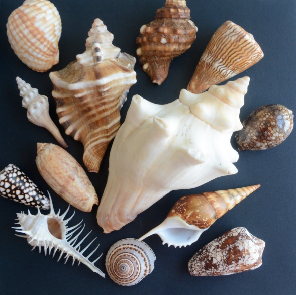 A selection of Arabian Gastropods...