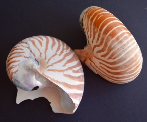 Cephalopoda-nautilus, broken sadly, as yet to find one intact....