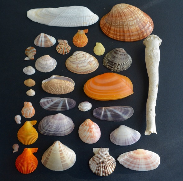 A selection of Arabian bivalves...