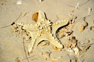 Massive sun-dried starfish on a Kuta beach...
