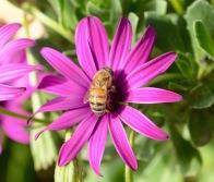 A happy bee...