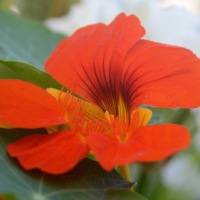A to Z challenge: N is for Nasturtium