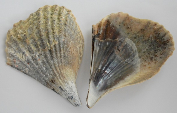the 5th type of pen shell found in Arabia ...Atrina vexillum...