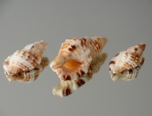 Cymatium (Monoplex) aquatile. Found in Gulf of Oman, Masirah island, South Oman. Up to 80mm.