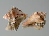Possibly a juvenile Cymatium ranzanii.