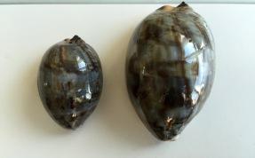 Sub-adult Cypraea grayana...