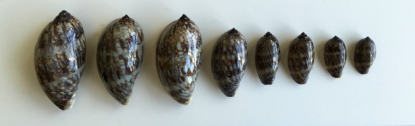 Juvenile Cypraea grayana...