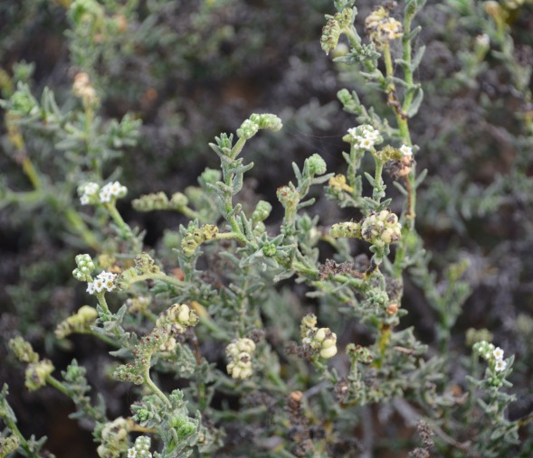 In close-up these bushes have small white flowers....