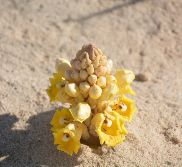 My Desert Hyacinth.... Found usually on the dune line behind the shoreline...