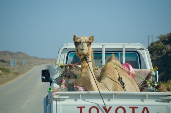 In Oman there is alway's a camel in a truck to be seen...this time Mother & baby....