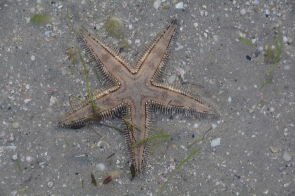 Five point starfish in the inter-tidal zone...