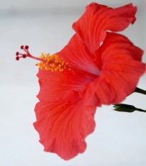 Red hibiscus, everywhere.....