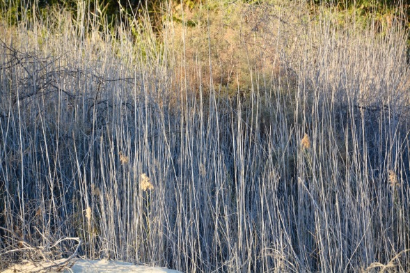 Wetland rushes...