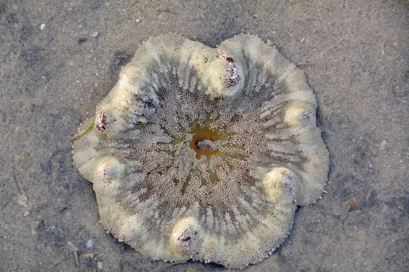 A Carpet Anemone, underwater at low tide...
