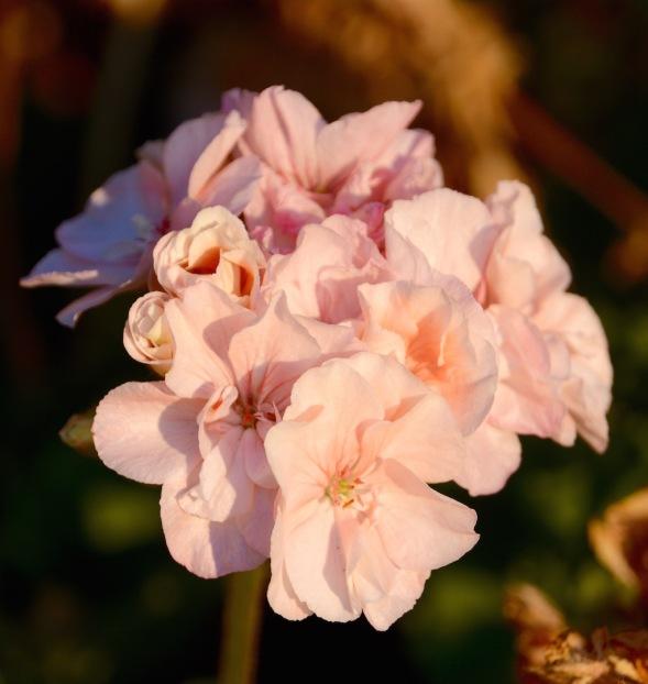 Soft pink geranium....