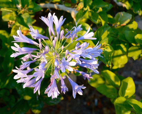 My agapanthus....my June favourite...