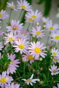 A daisy variation....