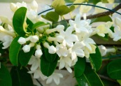 Stephanotis, the smell at night is divine....