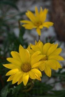 Gazania, a perennial favourite, orange and yellows light up the garden....
