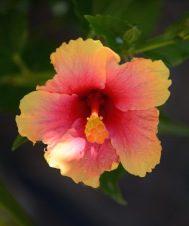 Such a stunning hibiscus colour.....